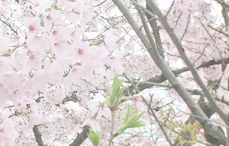 花個紋 桜